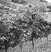 Thumbnail image for L'Azienda Vitivinicola Il Sassone