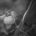 Thumbnail image for Le serre dei pomodori di Cristiana e Tiziana Vargiu
